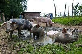 pigs_mud